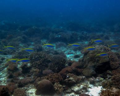scuba diving dar es salaam octupus reef Tanzania East Africa fusilier,Caesio teres swim across the reef.