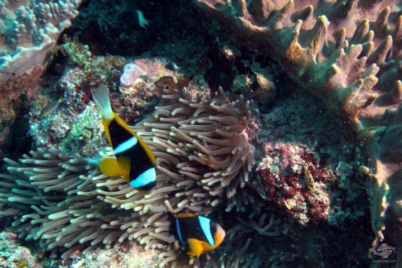 A pair of allards clownfish at Powoni near Paje in Zanzibar