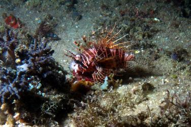 A dwarf lion fish at nudi city