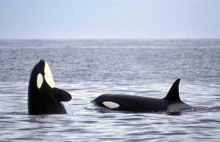 Hd Orca Wallpaper Sea Watch Foundation 187 Killer Whale