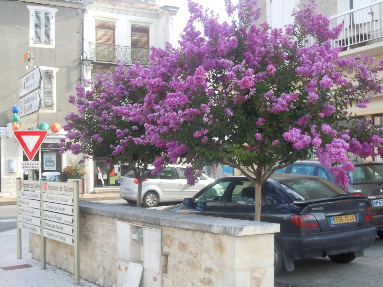 Lila Des Inde Lagerstroemia