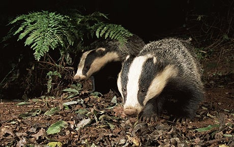 Falling Money Hd Wallpaper Hedgehogs In Decline Because Badgers Are Eating Them