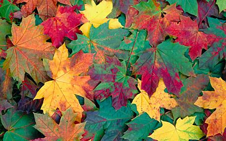 Fall Leaves Dancing Wallpaper Scientist Discovers Why Leaves Change Colour In Autumn