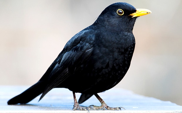 Vogel Schwarz Starving Blackbirds Turn Cannibal Due To Dry Weather
