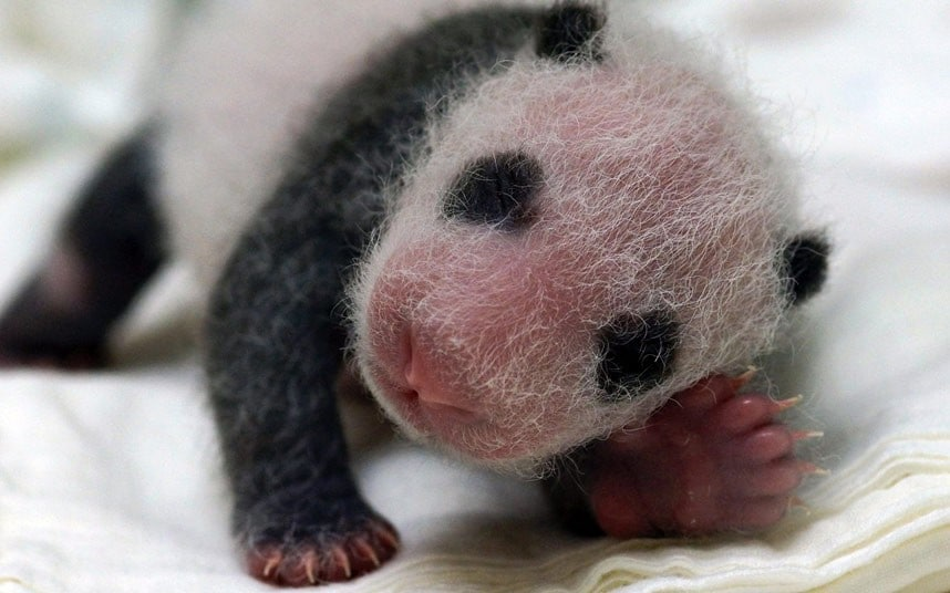 How to tell if a panda is pregnant - Telegraph