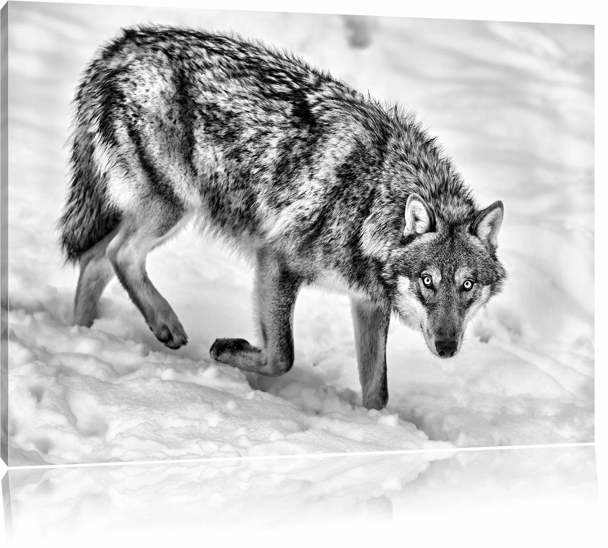 Fototapete Wolf Rare Wolf In Snow Wall Art On Canvas
