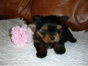 Image For Dogs For Sale Puppies For Sale Terrific Pets