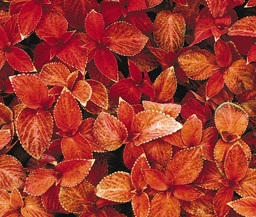 Bulk Grass Seed Coleus Wizard Sunset Seeds - Solenostemon Scutellarioides