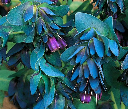 Bulk Grass Seed Honeywort Seeds - Cerinthe Major Purpurascens