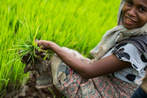 A day labourer picks young rice seedlings on Jose Dos Santos's f