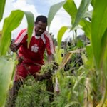 Francisco Jose Martiez tends to the corn crop planted by the 10 members of a SOL community group outside Maubisse in Ainaro District.