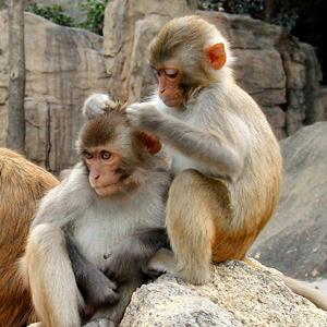 monkey-groming
