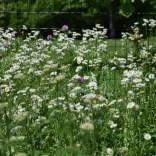 Beneficial Weeds