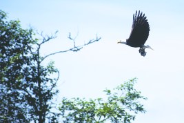 A bald eagle flies off with a fish in its talons on Tuesday, June 16, 2015 five miles west of Toledo.