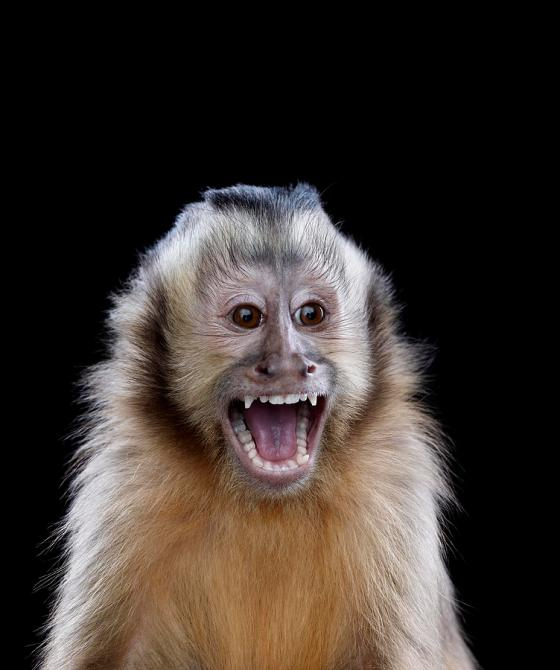 portrait-of-male-capuchin-monkey-screaming-brad-wilson