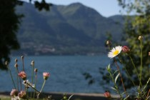 Daisy Flower at Lake Maggiore