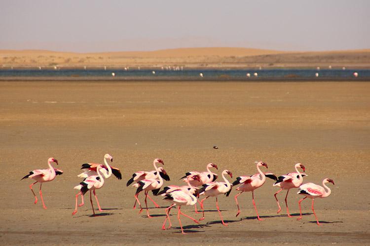 ワルヴィス・ベイ フラミンゴ ナミビア