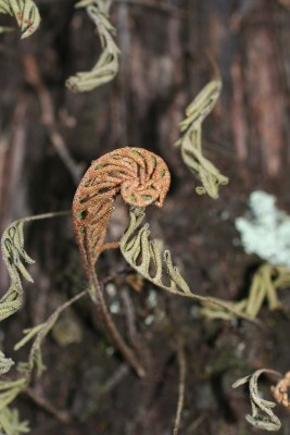 What's in Bloom: Resurrection Fern