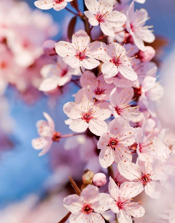 Cerezo Japonés o Sakura Rojo - Semilla en Casa - Semillas ecológicas