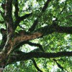 rindangnya pohon