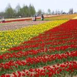 チューリップ祭 太陽の畑