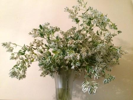 Euphorbia Marginata Poisonous