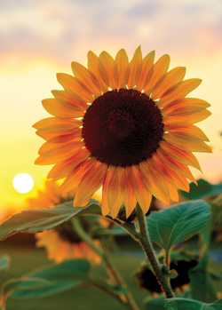 Fall Sunflower Wallpaper Aaa Midwest Traveler Pretty As A Picture
