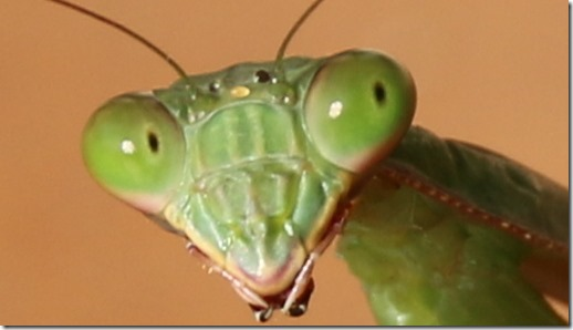 If insects like the Prey Mantis have thousands of eyes, then why do