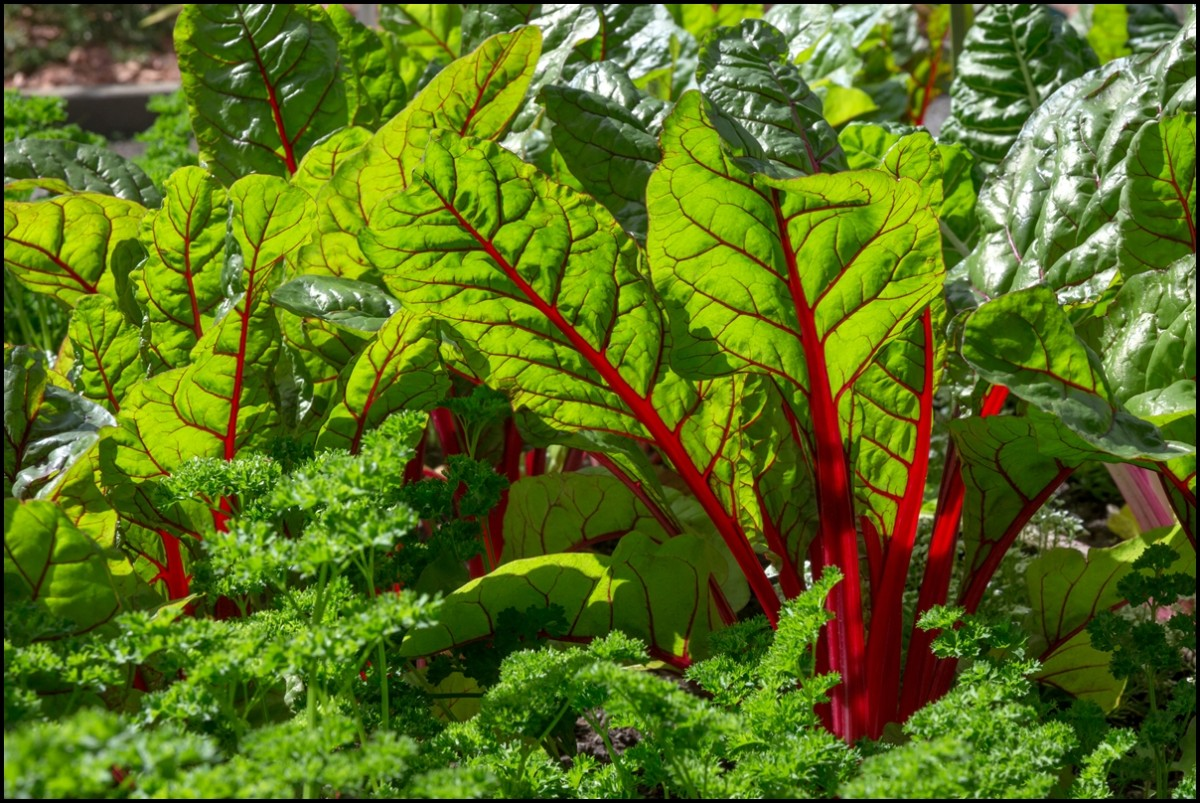Mangold Pflanzen 8 Amazing Health Benefits Of Swiss Chard Reasons Why