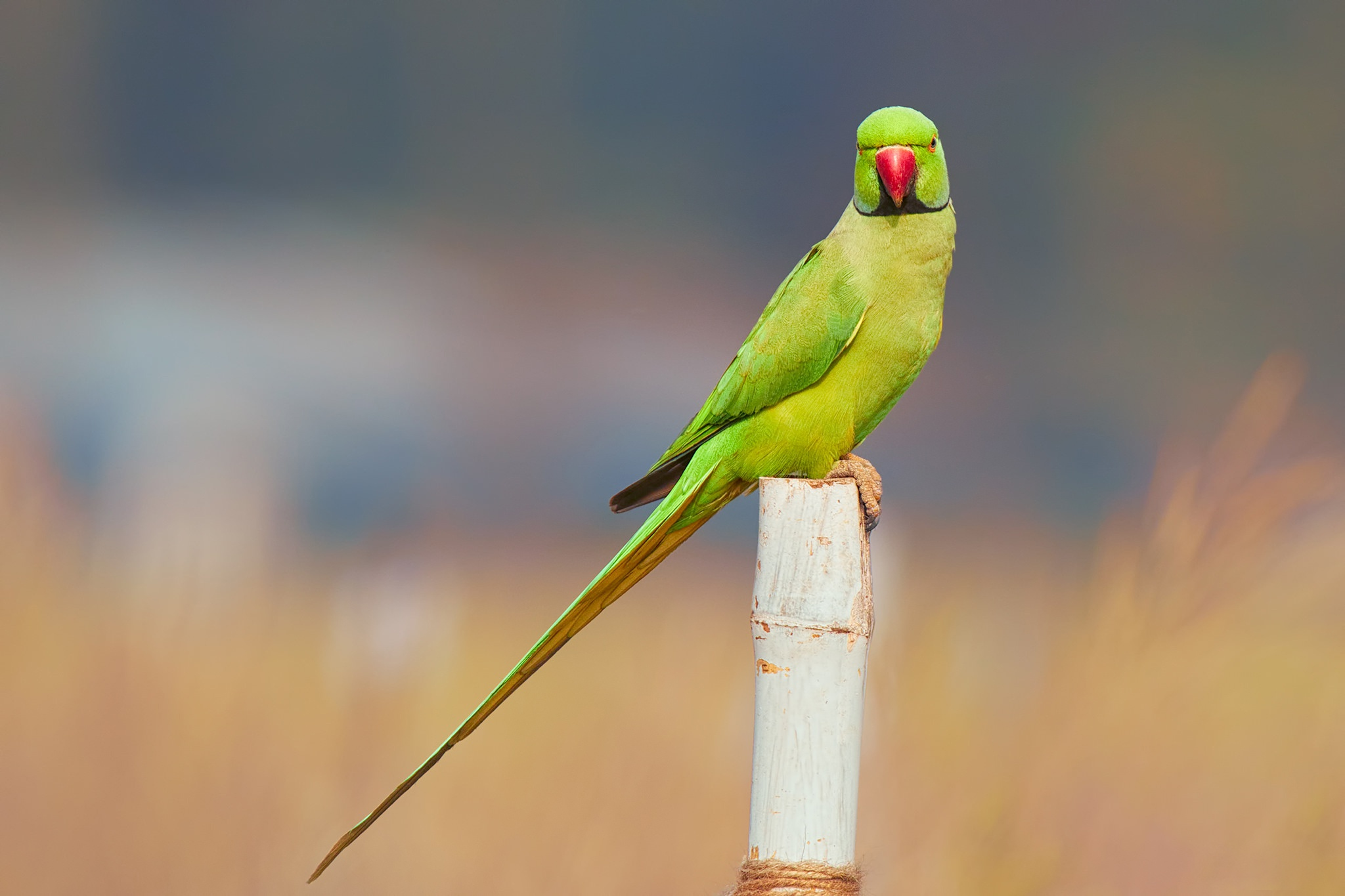 Parot Wallpapers Parrot Wallpapers Hd