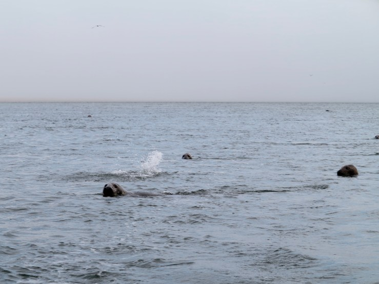 Seals in our wake near the Chatham cut