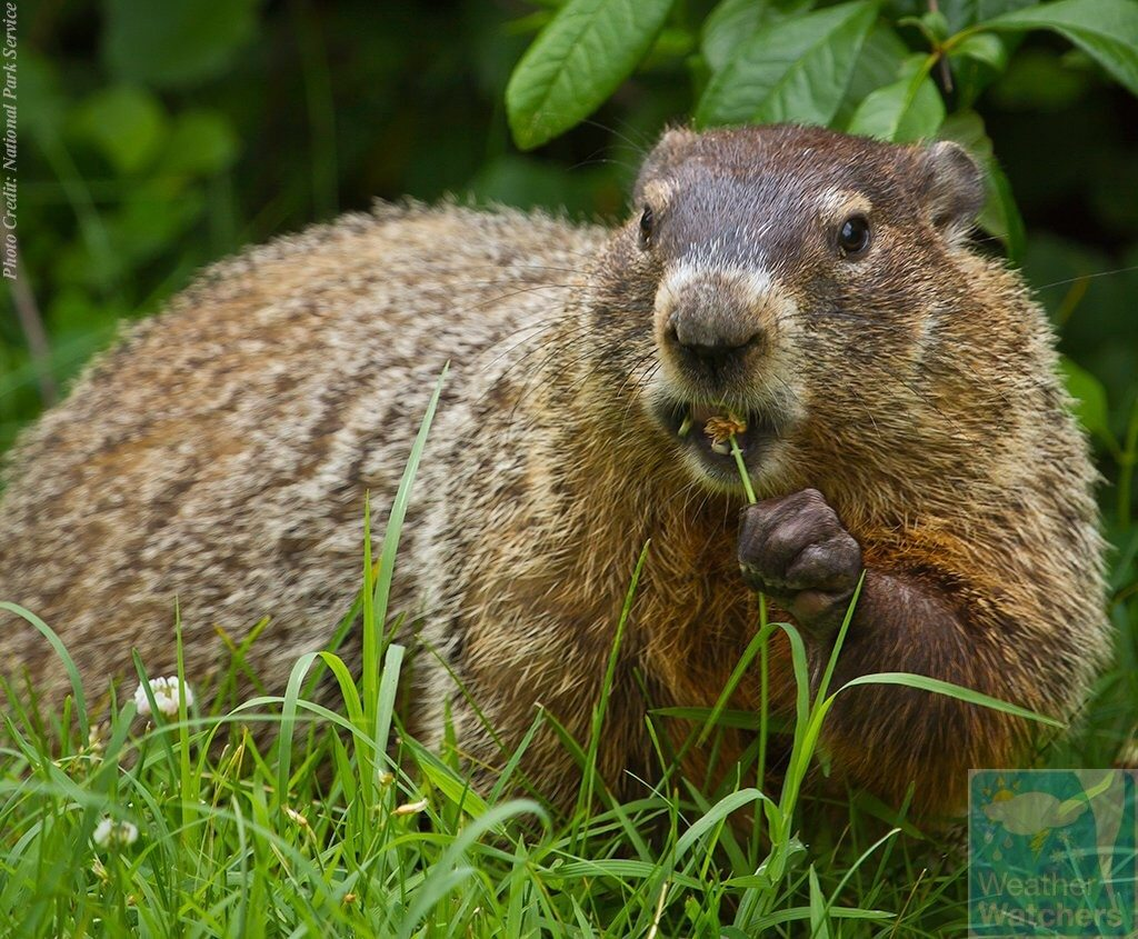 Groundhogs Groundhog Doesn 39t See Shadow Predicts Early Spring