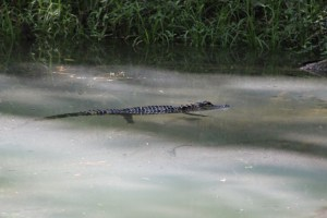 Baby gator swimming next to blue hole.