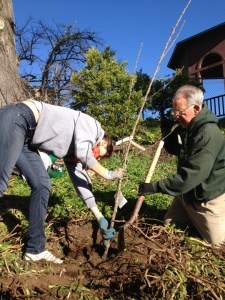 Volunteer plants tree Urban Orchards program 012613