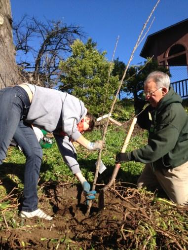 Volunteer plants tree Urban Orchards program 012613