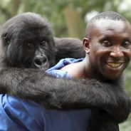 "Virunga National Park Congolese gorilla caretaker Andre Baum carries one of his ""family members,"" a gorilla held at the rehabilitation center to recover from injuries inflicted by poachers."