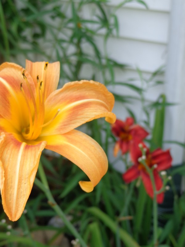 """Daylilies from """"Ould"""" words mean I'm conflicted on Shalavee.com"""