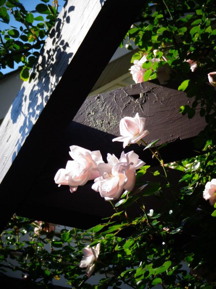 arbor roses on Shalavee.com