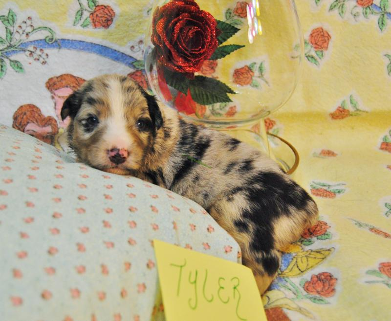 Baby Fell Hit Side Of Head Shamrock Rose Aussies Update New Pictures Added Of