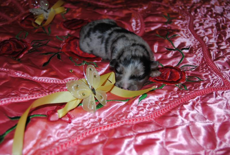 Buggy Mini Cooper Shamrock Rose Aussies Update We Have Puppies Born 5