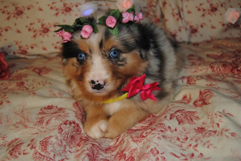 Babies Baby Puppy Shamrock Rose Aussies  Welcome To Shamrock Rose