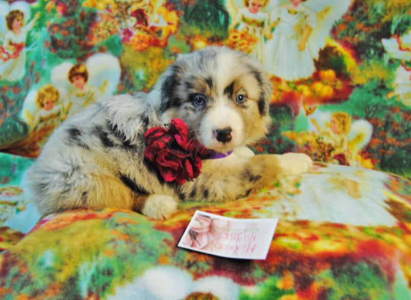 Baby Plus Buggy Shamrock Rose Aussies Update New Pictures Added Of