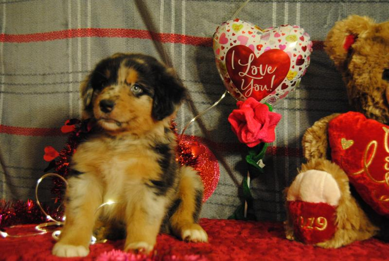 Baby Pen Play Shamrock Rose Aussies Welcome To Shamrock Rose Aussies
