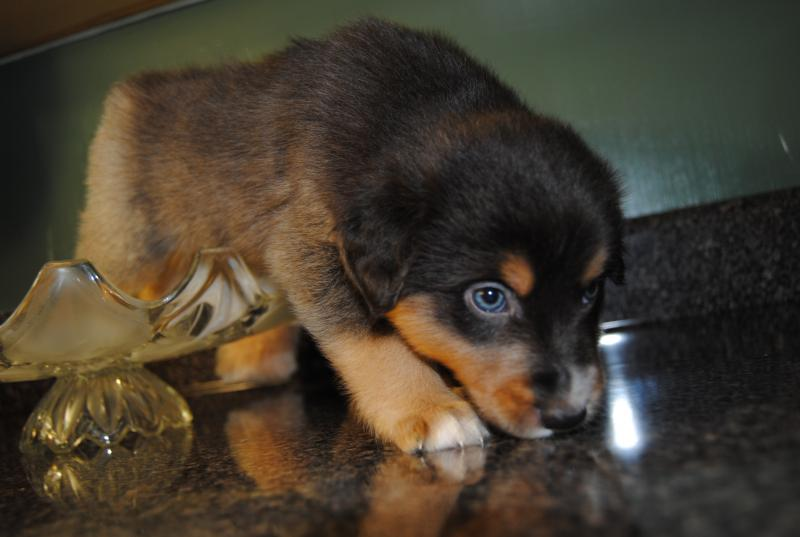 Baby Fell Hit Side Of Head Shamrock Rose Aussies Scroll Down For Available Puppies
