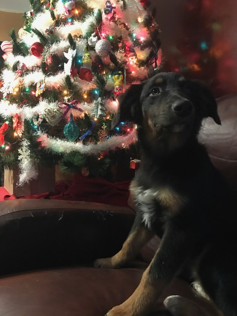 1 Year Old Time In Car Seat Shamrock Rose Aussies A Very Merry Christmas A Happy