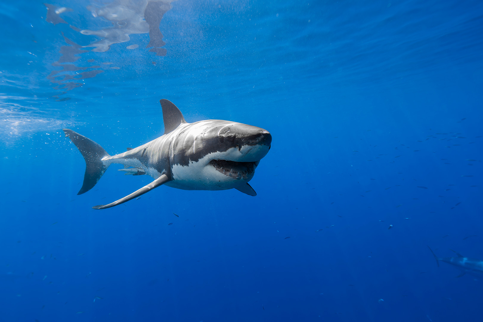 3d Animations Wallpapers Gif Happy Great White Shark By George T Probst