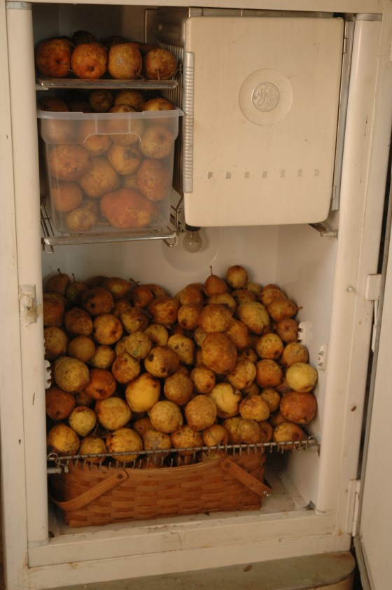 I stored as many as I could in our old refrigerator in the barn and in the house.