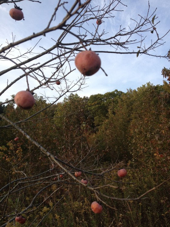 One of our many persimmon trees