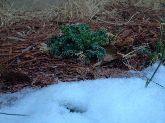 The kale hasn't minded the snow this year or sub zero temperatures