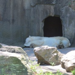 A Polar Bear catches some zzz's
